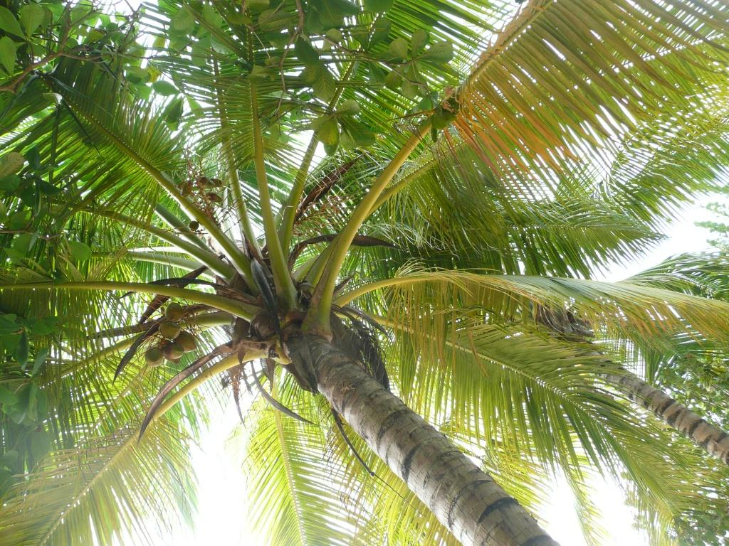 Tobago Palm