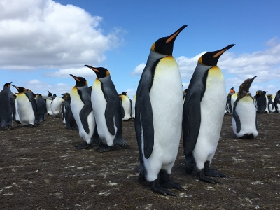 The King Penguins at Volunteer Point, Falkland Islands